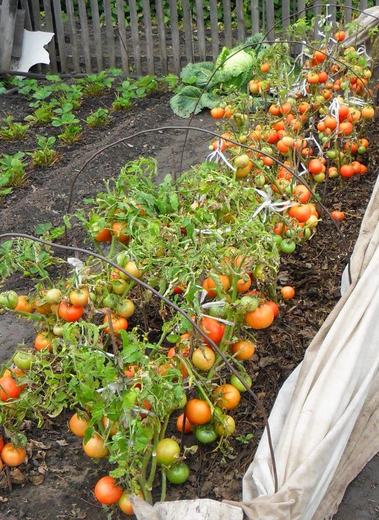 безрассадный томат Толстый Джек