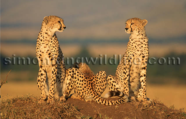 Female Cheetah with her Family 3
