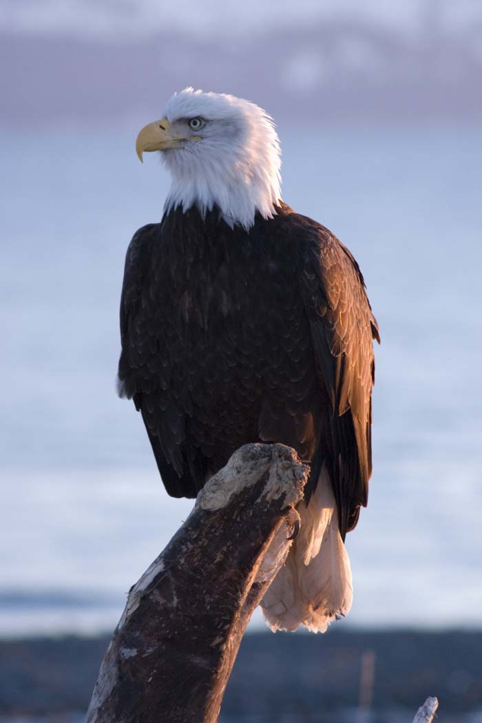 Eagle bird images - photo#12