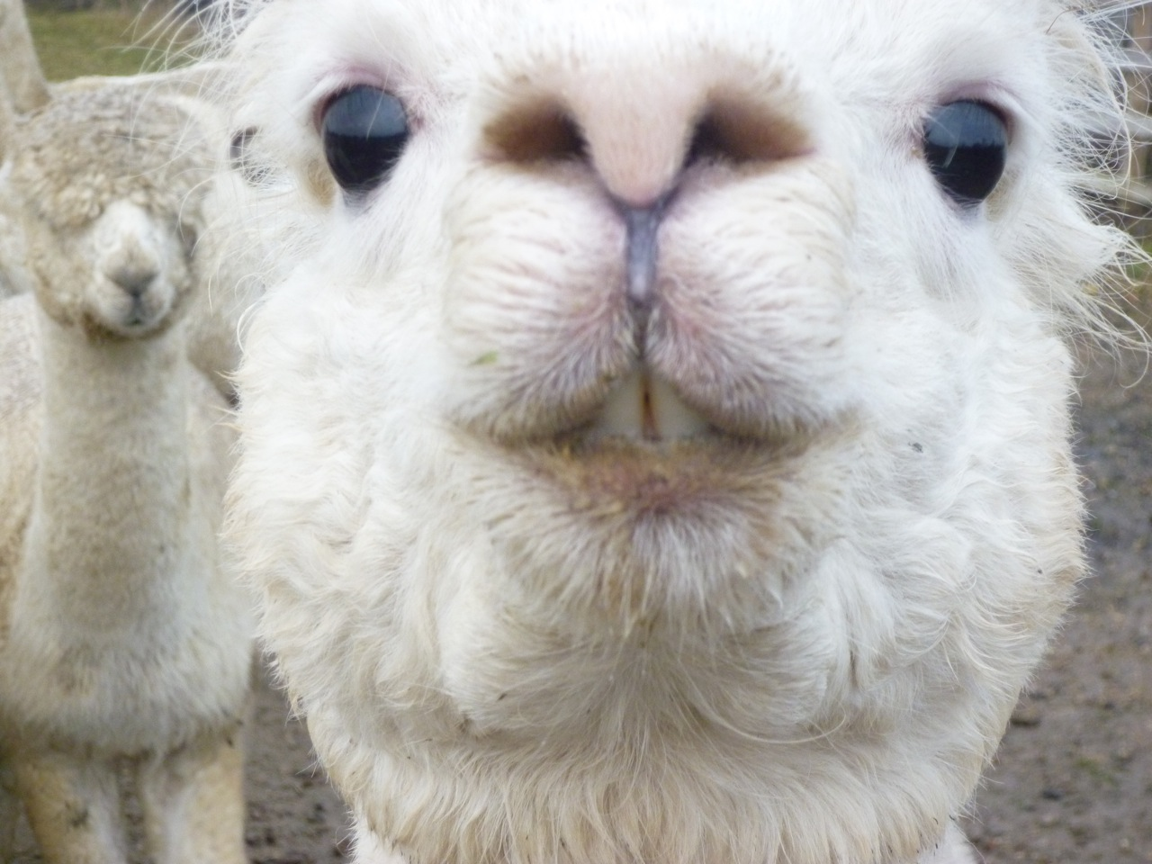 funny alpaca new nice pictures photos 2012 funny animals