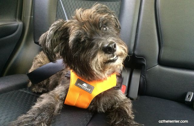 Oz the Terrier 6 Tips for Pet Travel Safety for National Pet Travel Safety Day