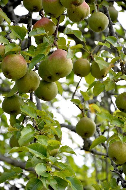 Pears upclose Hickory Ridge Studio