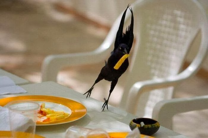 Funny animals of the week - 7 February 2014 (40 pics), bird steals french fries