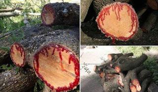 ΑΠΙΣΤΕΥΤΟ: Δέντρο… ματώνει όταν κόβεται!