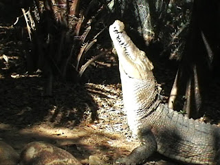 Crocodile feeding Queensland Australia the Billabong sanctuary