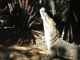 Crocodile feeding Queensland Australia the Billabong sanctuary