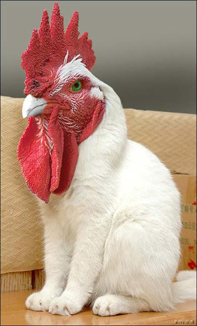 hen or cat