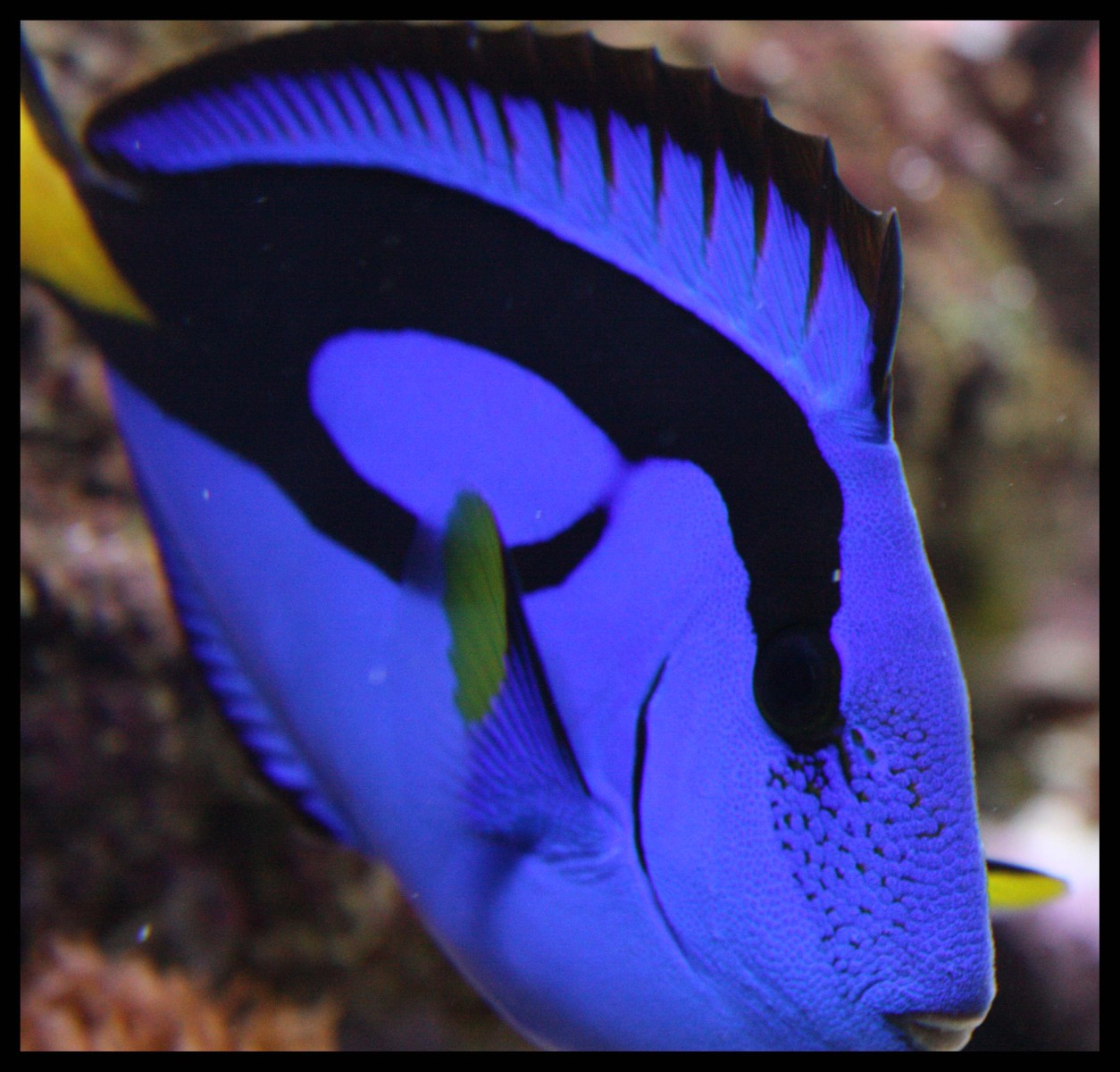 Moved permanently for Royal blue tang fish