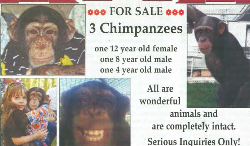 Chimp Trainer S Daughter Notorious Chimp Owner Goes Out