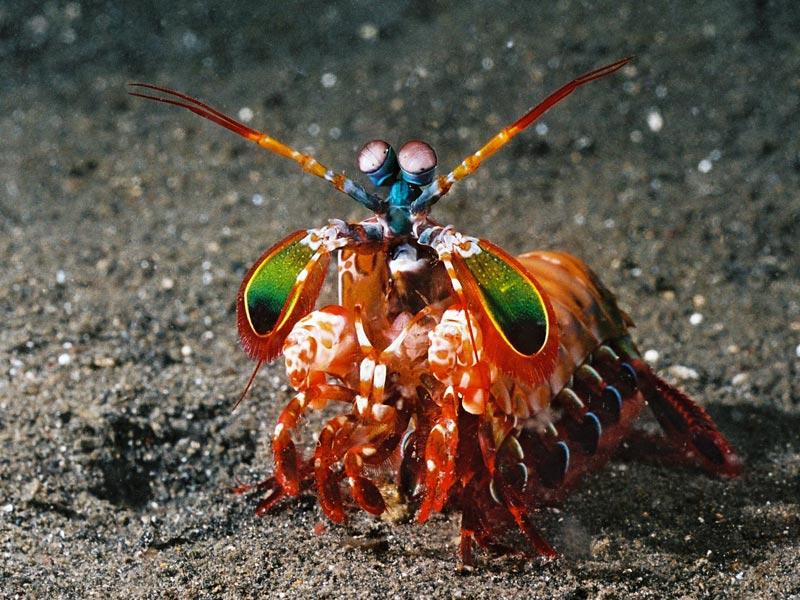 Mantis Shrimp Amazing Beautiful ~ planetanimalzone