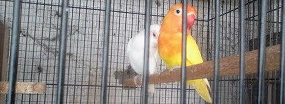 Jual Love Bird Jantan Albino Mata Merah vs Betina Lutino Mata Hitam
