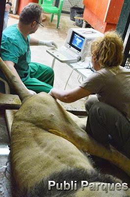 inseminación artificial a una hembra de león asiático