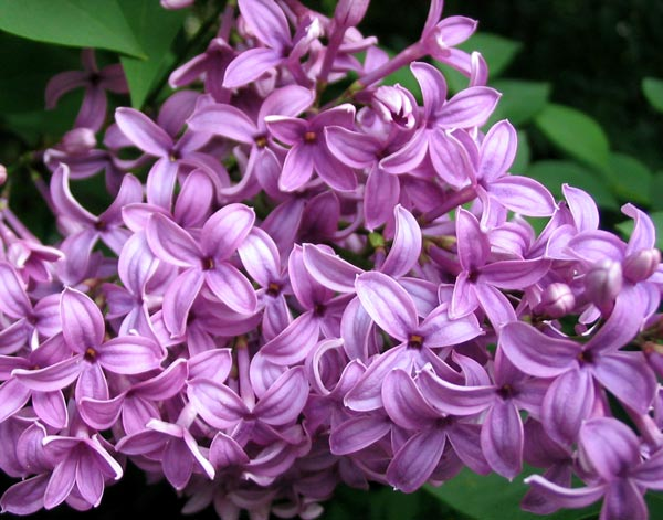 flowers for flower lovers lilac flowers