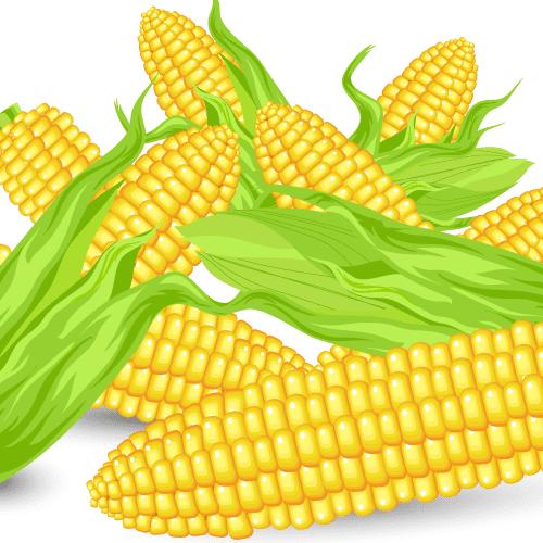 Mazorcas de maíz - vector