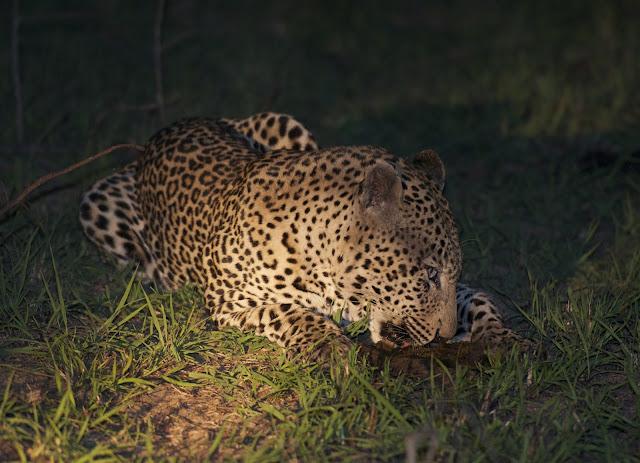 leopard - night safari