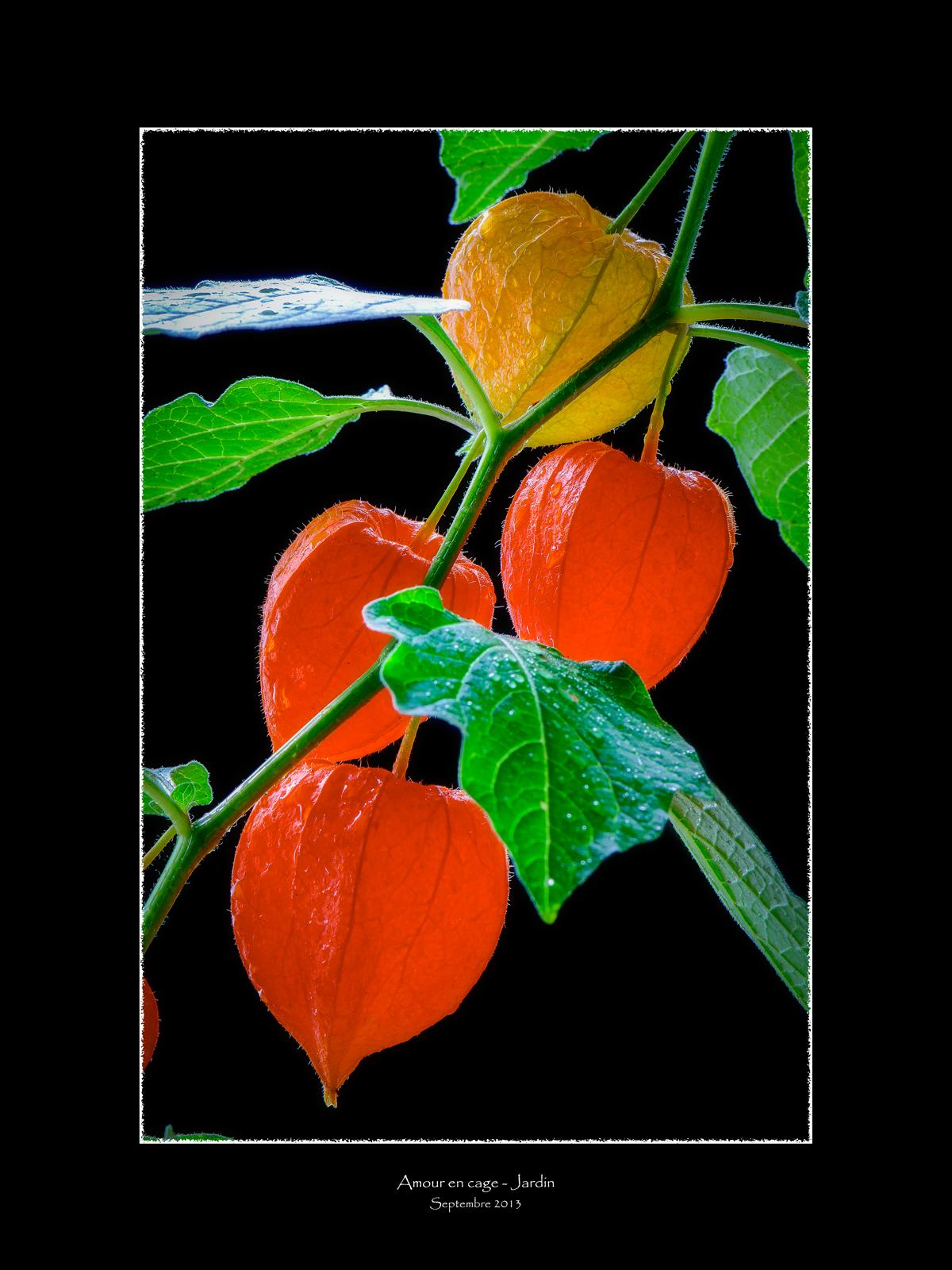 Observations num riques amour en cage - Fruit amour en cage ...