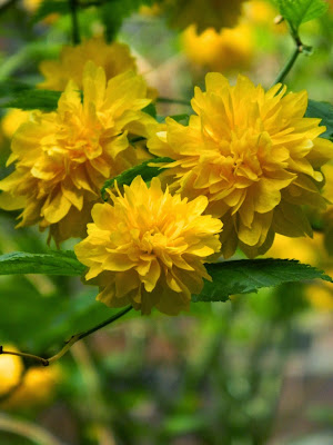 Kerria japonica spring flowers by garden muses-not another Toronto gardening blog