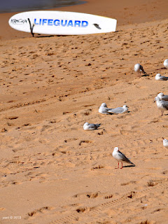 lifeguard gulls