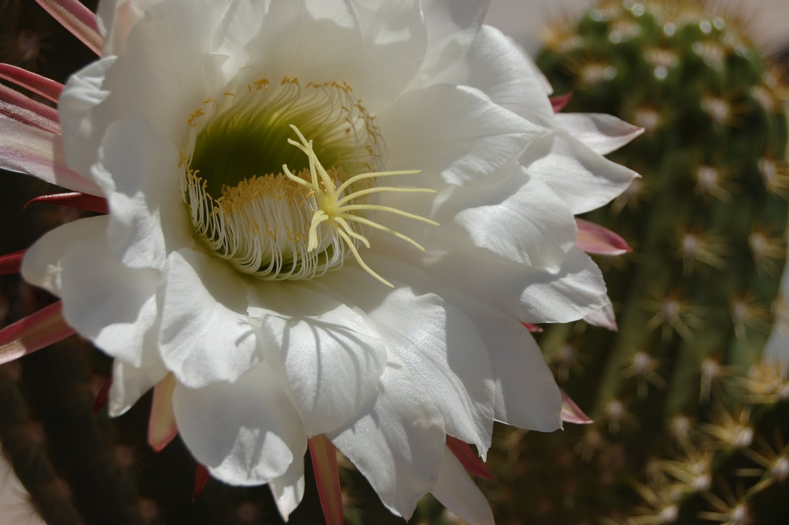 Flowers For Flower Lovers White Cactus Flowers Images