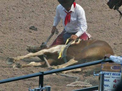 mustang extenuado yace en el suelo del rodeo