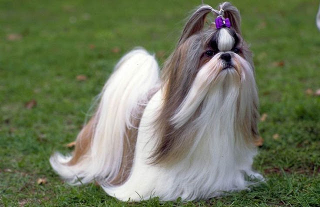 Size and Wight of Shih Tzu