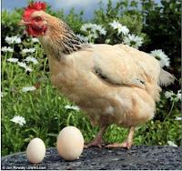 galinha ovo grande