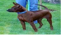raza perro Ridgeback Tailandés