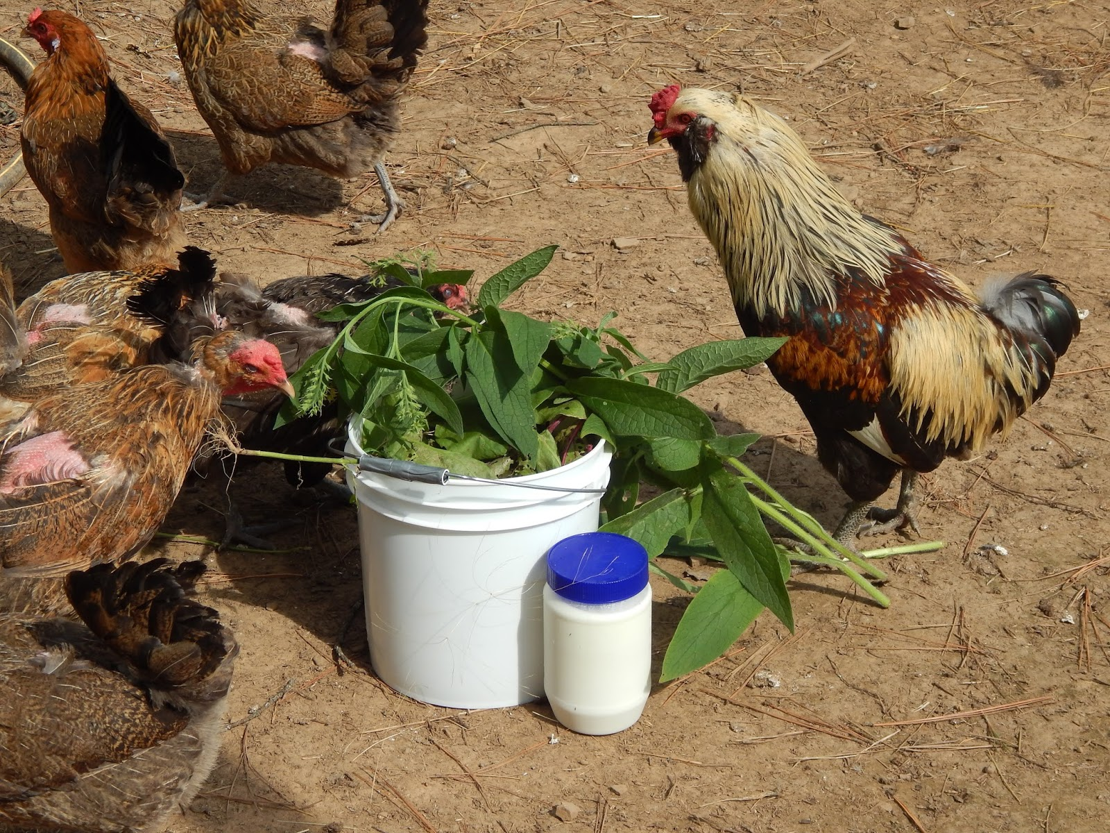 thoughts from frank and fern the more or less of chickens