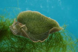 Green Sea Slug