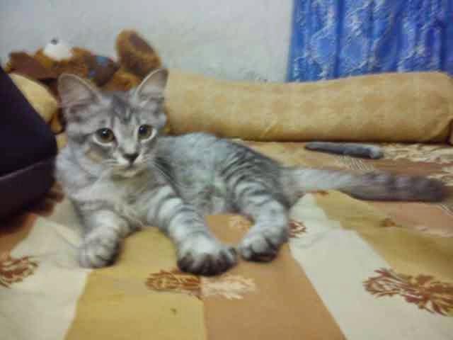 Jual Kitten Persia Cirebon