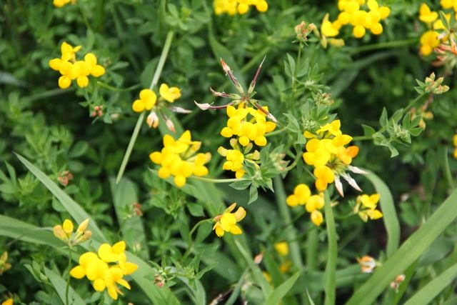 Birdsfoot trefoil (Lotus corniculatus) classified as invasive