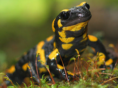 La Salamandra y su poder de regeneración