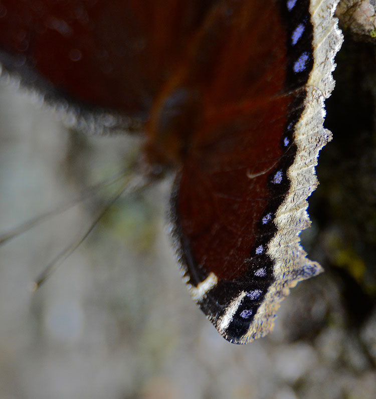 Beautiful marking of a Mourning Cloak butterfly; dorsal view