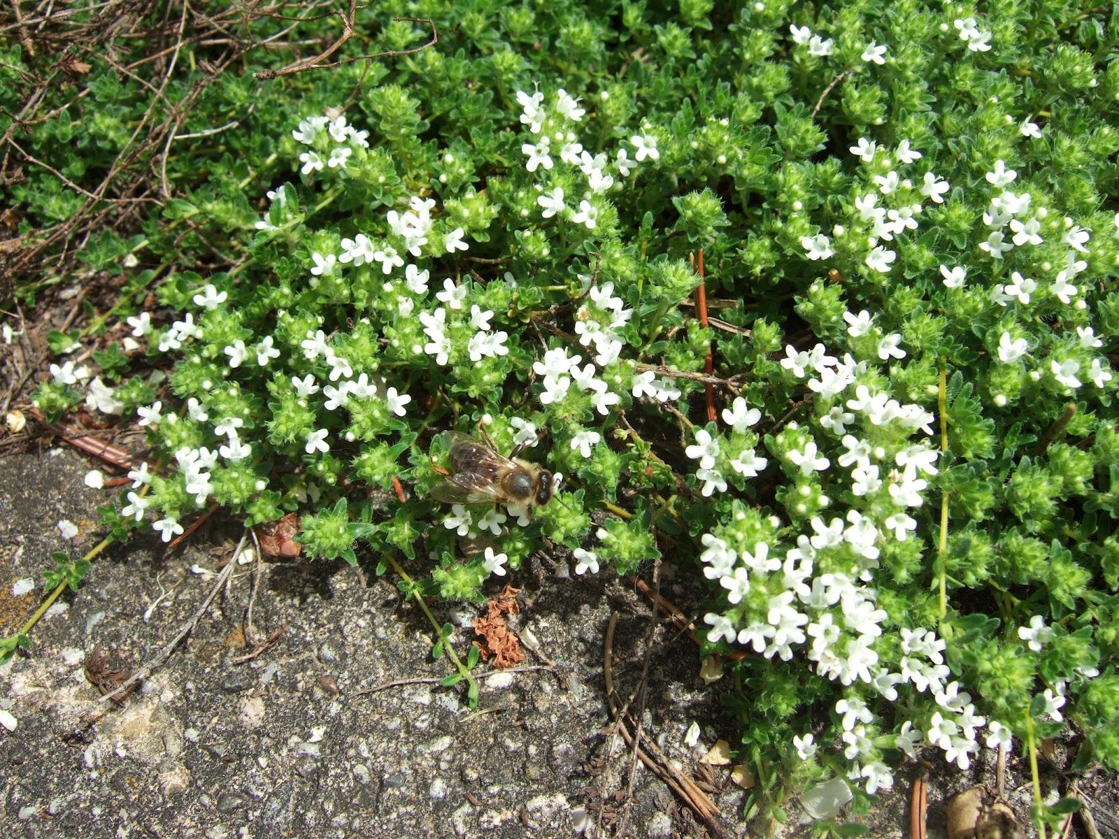 PflanzenResort Weisser SandThymian (Thymus serpyllum