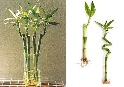 Bambu Baño Feng Shui:ZEN Y FENG SHUI + TAO : BAMBU DE LA SUERTE, PARA LA SUERTE Y