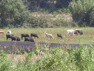 Vacas Toro bravo Ganadería Jalón, Grisén
