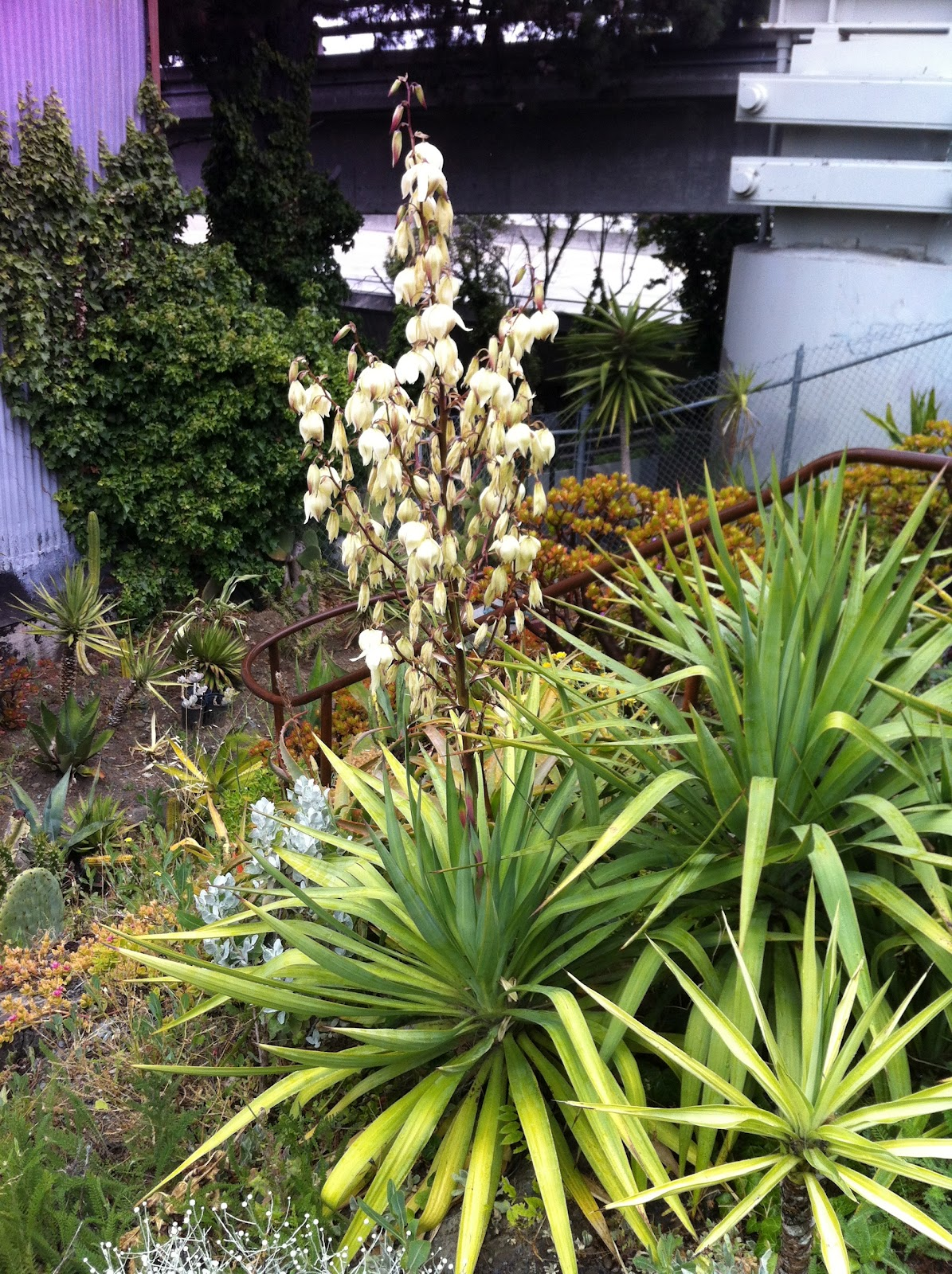 pennsylvania garden plant profile yucca. Black Bedroom Furniture Sets. Home Design Ideas