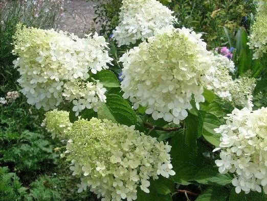 Ma plan te jardin faut il tailler les hortensias panicul s - Quand tailler un hortensia ...