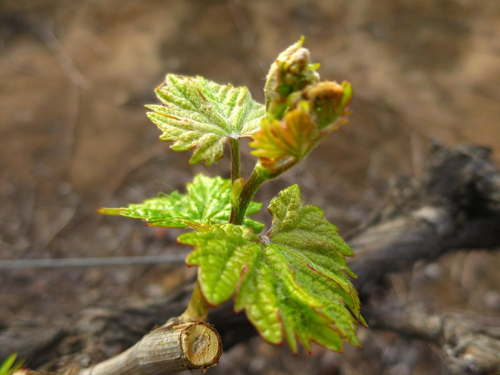 Bud break in the vineyards