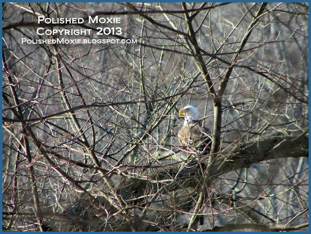 Image of mature bald eagle sitting among the branches of a tree.