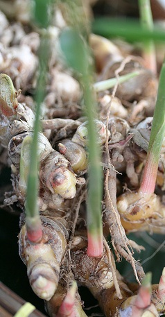 Jenis, Manfaat dan Kandungan yang Terdapat pada Jahe, jahe,manfaat jahe, khasiat jahe, budidaya tanaman jahe, petani jahe, kandungan jehe, jahe putih, jahe merah, budidaya jahe