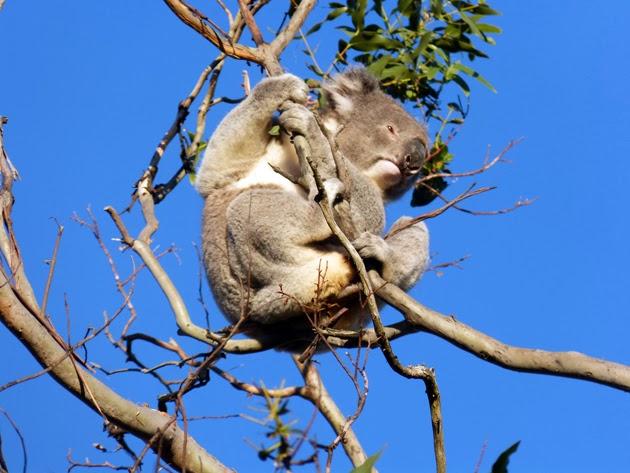 Great Ocean Road Melbourne koala