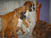 Pictures of Boxer Puppies