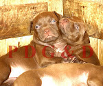 APBT CACHORROS -Hijo e Hija de Red Ray x Red Ice.