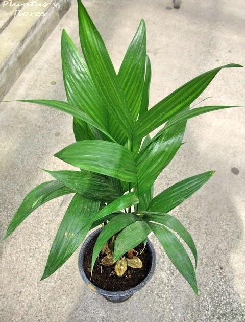 Plantas y flores palmeras de interior for Plantas tropicales de interior