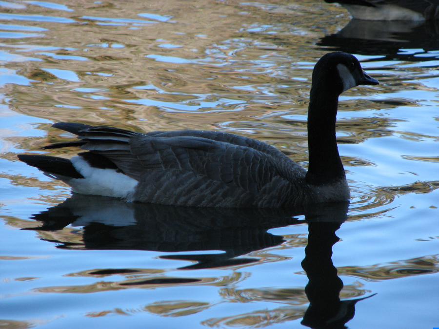 Goose in a Blue Dream, Bend, Oregon