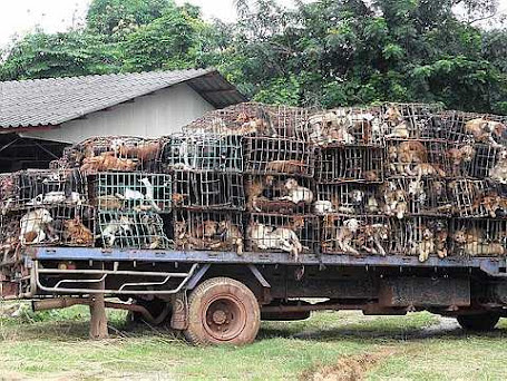 Hundreds of caged dogs are seen on a truck