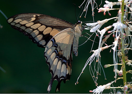 Giant swallowtail (Papilio cresphontes) on Bottlebrush buckeye (Aesculus parviflora)
