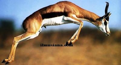 Thomson's Gazelle hewan cepat