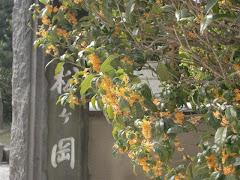 鎌倉のキンモクセイ